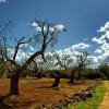 Is the Biotech Industry Behind the Destruction of Italy's Olive trees?