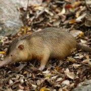 solenodon paradoxus